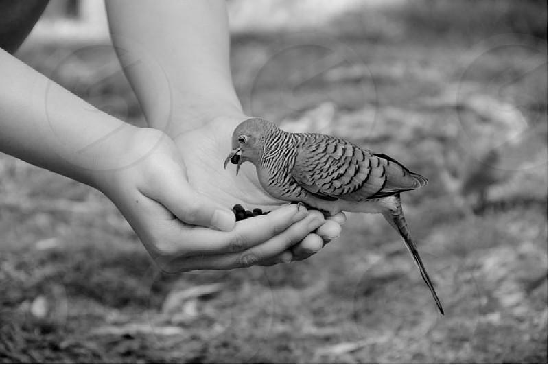 Zebra doves at a Japanese Buddhist Shrine in Hawaii photo