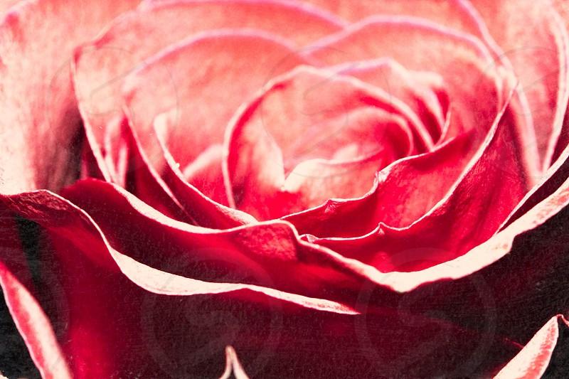 red rose macro shot  photo