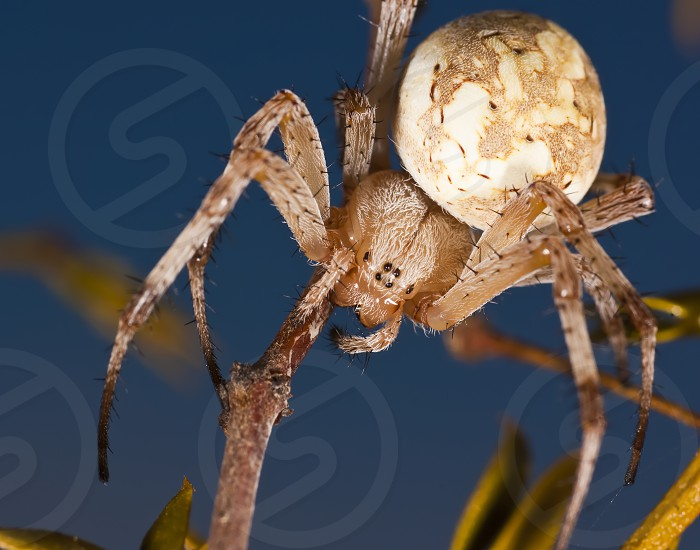 A macro photo of an Arizona Western Spotted Orb Weaver Spider. photo