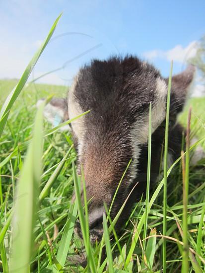 Goat farm pasture field animal outdoors photo
