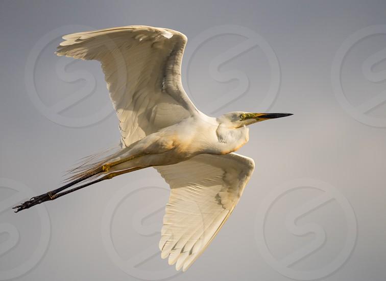Birds in flight in Western Australia. photo