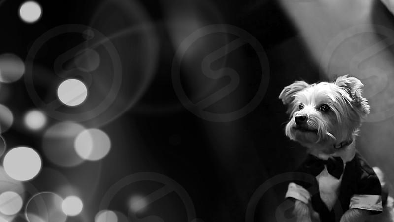 ...little tuxedo pup...^^ photo