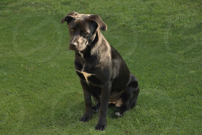 black and white short haired large dog photo