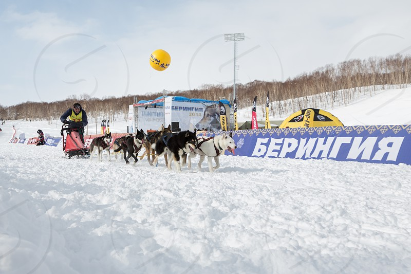 PETROPAVLOVSK-KAMCHATSKY KAMCHATKA RUSSIA - MARCH 2 2014: Running dog sled team musher Krivogornitsyn Alexander. Kamchatka Sled Dog Racing Beringia. Race-prologue distance of 10 kilometers. photo