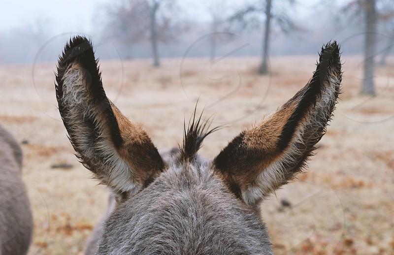Wet donkey ears from rain. photo