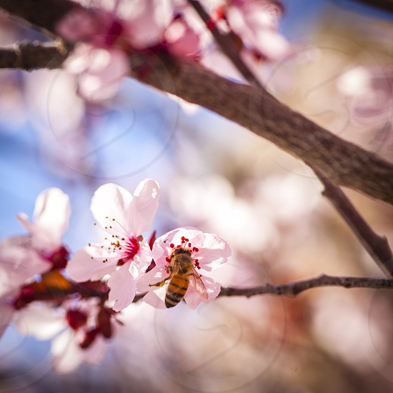 branches bees hive pollinate pollination spring pink blossom fruit trees  photo