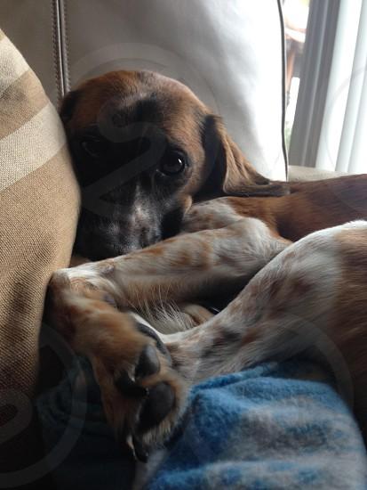 Beagle/Whippet mix photo