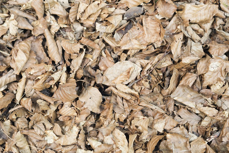 Dry leaves in a beech forest of the Irati Forest in Navarra Spain. photo