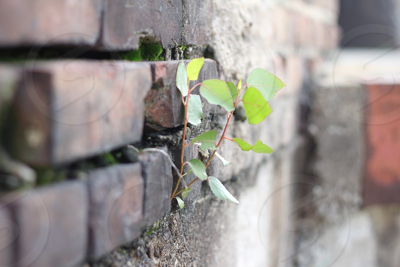 Plant Life Growing on the Side of a Brick Building photo
