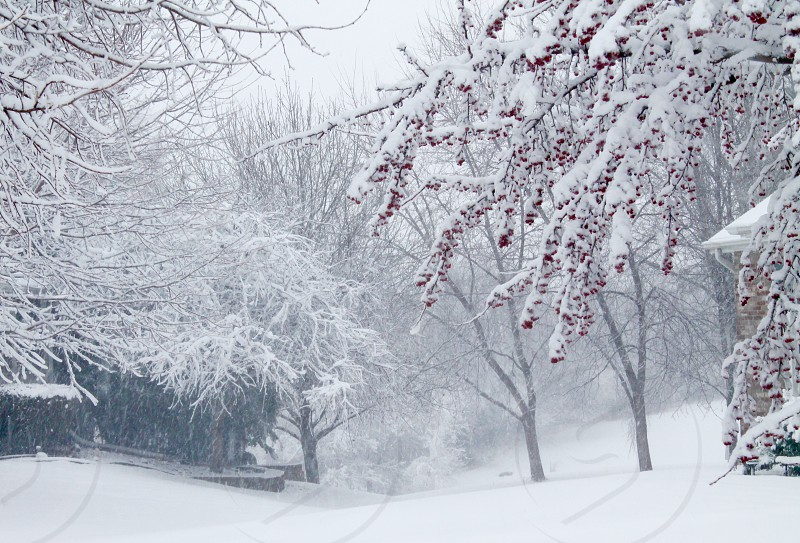 Crabapple tree in the snowstorm photo