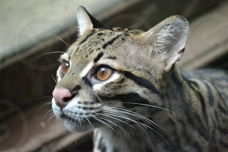 ocelot beside stairs in macro photography photo