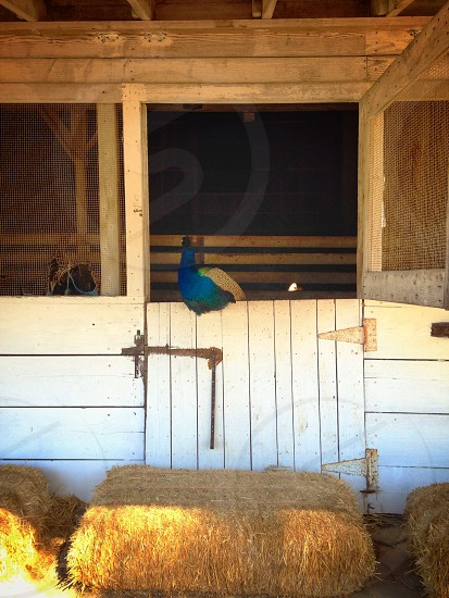 Peacock in stable photo