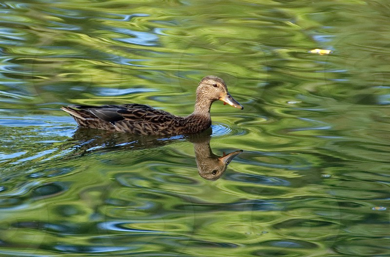 Ducky photo