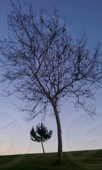 grey tall tree photo