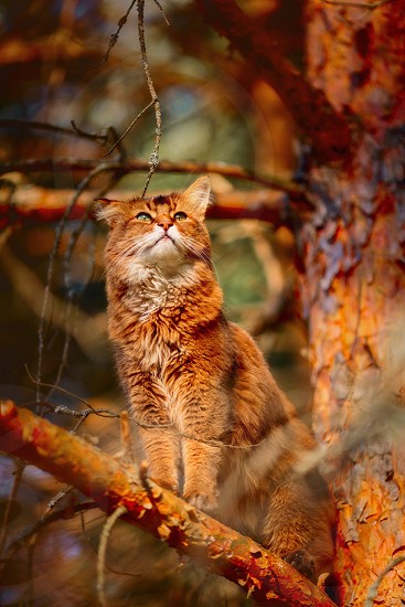 Rudy Somali cat sitting on a spruce tree at sunset photo