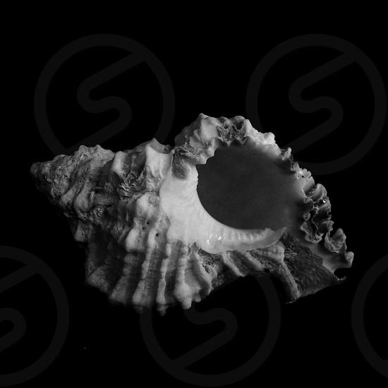 Seashell Dominican seashell nature marine life perfection design still life  photo