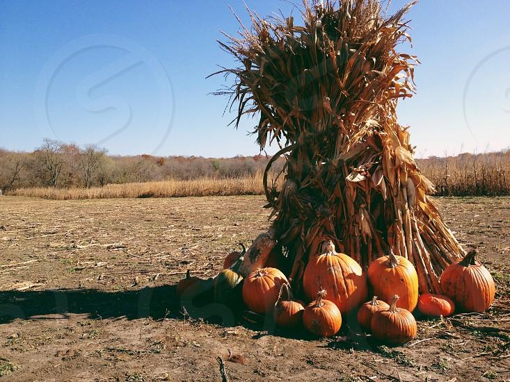 orange pumpkin  photo