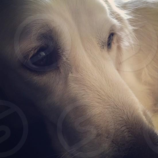 shallow focus photography of adult yellow Labrador retriever photo