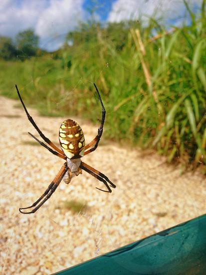 Argiope arachnid spider spider web rural insect close up nature bug gate farm dirt road farm photo