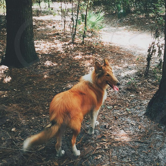 red and white shetland sheepdog standing on ground near wooden tree trunk photo