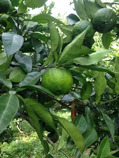 青い柚子の実 photo
