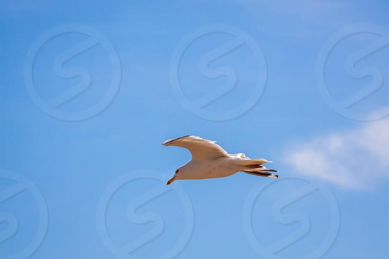 Common Seagull (larus larus) in Flight photo