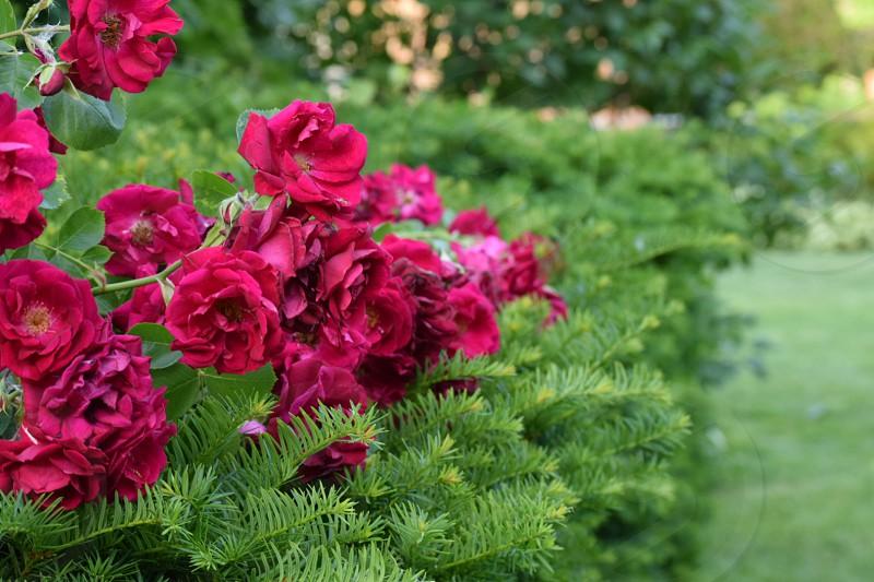 rose vine on bush photo