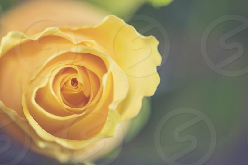 yellow flower bud in tilt shift lens photo