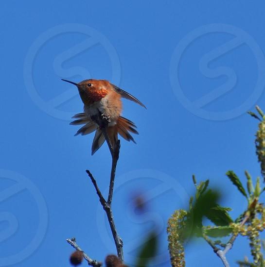 Rufous Hummingbird male stretching photo