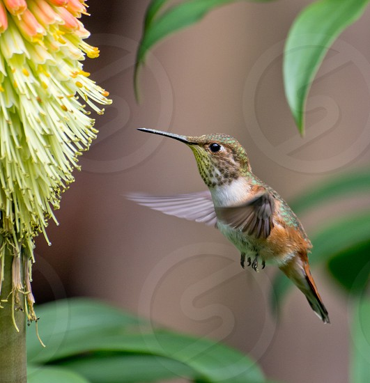 Hummingbird coming in for a feeding photo