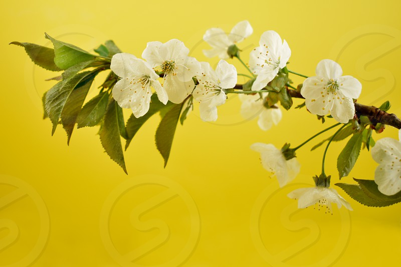 Blooming white cherry tree. Cherry branch on a yellow background. Spring floral decoration. Spring background concept. White cherry blossom flowering branche photo