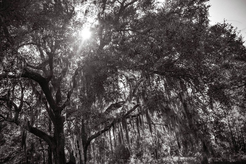 grayscale photograph of trees with sun rays photo