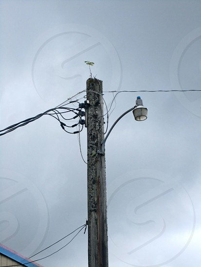 Tree growing on top of a light pole in Forks Washington. photo