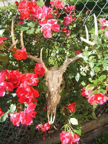 Deer skull and rose flowers photo