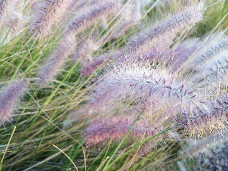 Soft purple plant - 2 photo