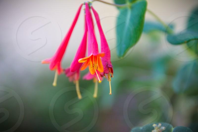 pink honeysuckle nature flower magic fairy photo
