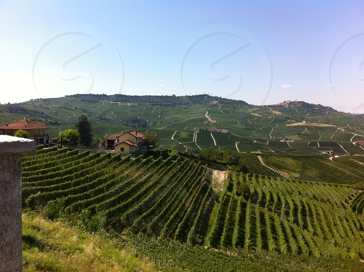 vineyard Barolo in Italy photo
