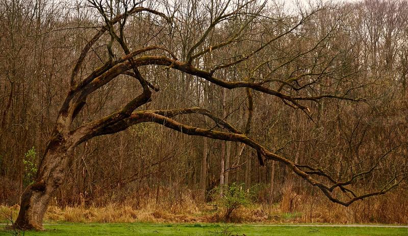 Leaning tree. Bent tree.  photo