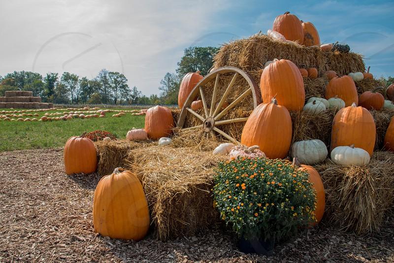 Fall harvest pumpkins hay autumn Halloween Minnesota farm wagon wheel flowers mums October  photo