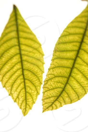 Green leaves in vibrant green medlar tree white studio background photo