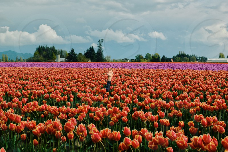 orange tulips field photo