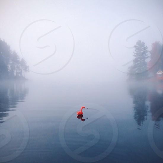 flamingo on misty body of water photo