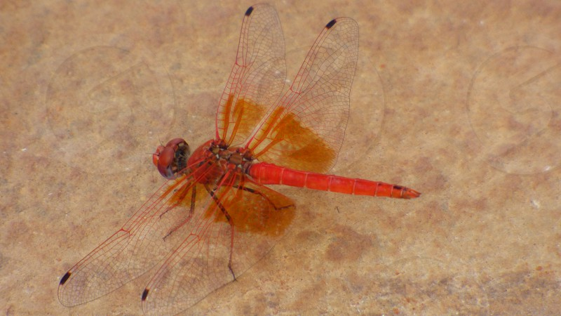 dragon fly red sandnamibia photo