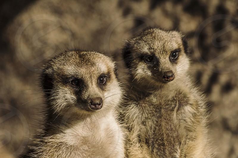 meerkats mammals animals two faces photo