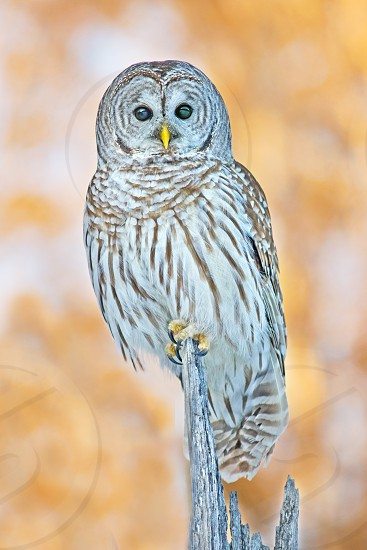 Barred owl hunting at sunset photo