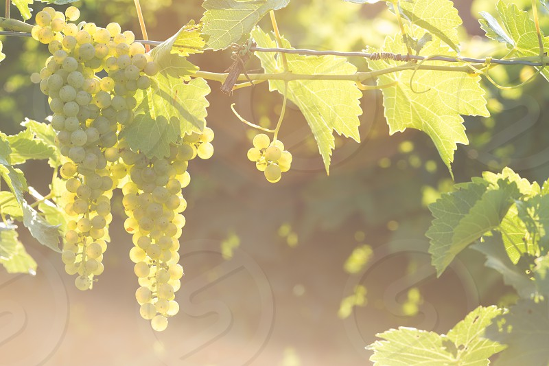 Grapes in the vineyard backlit by the sun photo