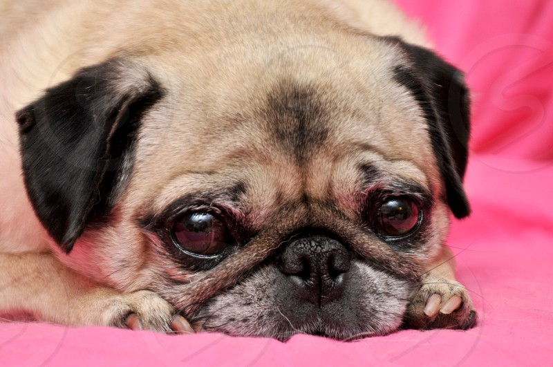 Pug dog on a pink background photo