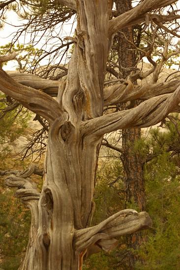 ancient gnarled tree photo