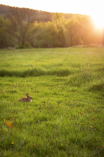 A rabbit soaking up the sunset surrounded by spring flowers photo