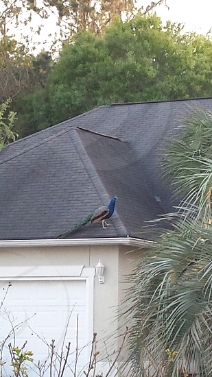 Peacock on a roof photo